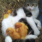 cat ducklings