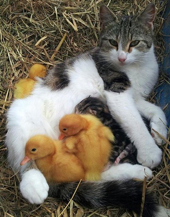 cat ducklings